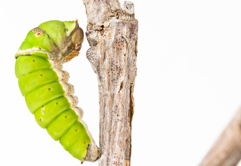 Swallowtail butterfly larva closeup