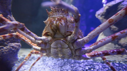The giant Japanese spider crab