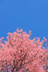 Thai sakura blooming during winter in Thailand
