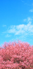 Thai sakura blooming during winter, North of Thailand