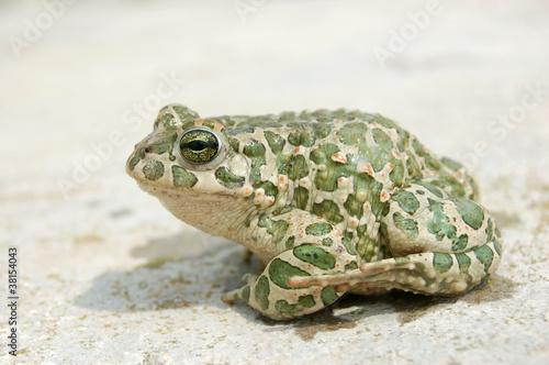Leinwandbild Motiv Big toad
