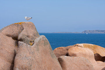 Seagull at a big rock at the French coast of Brittany