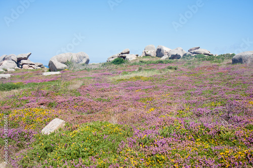 Colorful heath at the rocky coast of Brittany, France