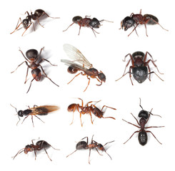 Collection of different ants isolated on white background