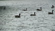Swimming canadian geese