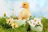 Peeping easter duckling