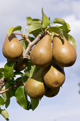 Ripe Bosc pears ready to pick