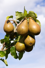 Bosc pears ready to pick
