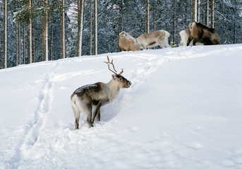 Reindeer in northern Sweden in winter