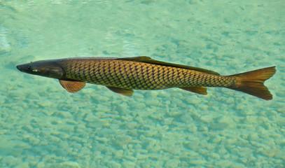 carpa che nuota nell'acqua limpida
