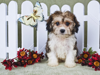 Super Cute Cavachon Puppy