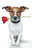 Fototapety dog with red rose