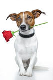 Dog with red rose - Fine Art prints