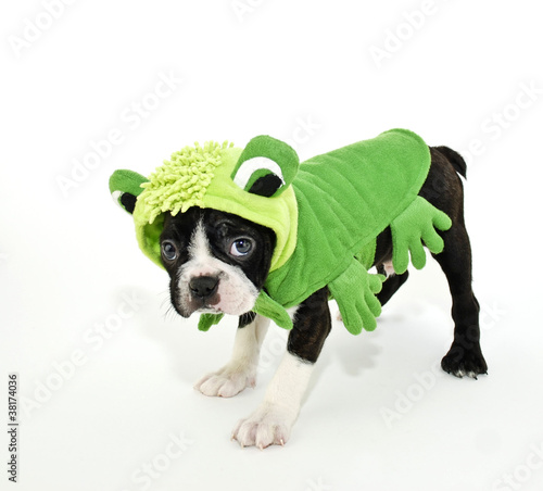 Boston Terrier in a Frog Costume