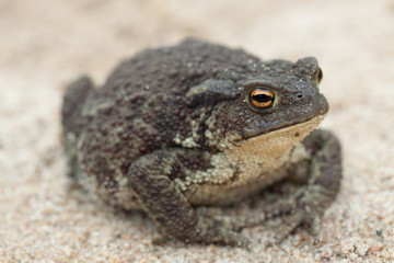 Common toad or European toad (Bufo bufo) on a sand