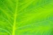 Blattader - leaf vein 02