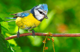 The Blue Tit (Cyanistes caeruleus).