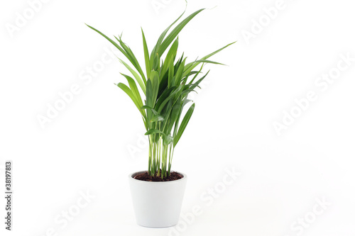 In de dag Palm boom Goldfruchtpalme