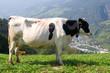 Kuh in den Alpen - Dolomiten