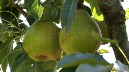 Pears grow on tree