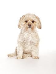 Morkie - Maltese Yorkie Mix Puppy