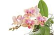 Flower of blooming  phalaenopsis orchid