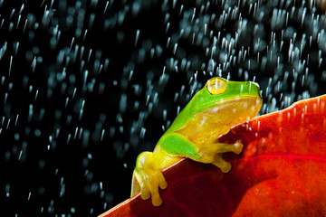 Green tree frog sitting on red leaf in rain