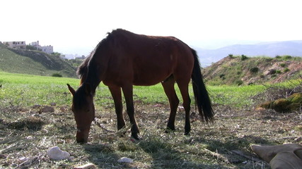 Handsome brown horse eating grass