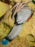Laced, honeycomb, tesselate moray (Gymnothorax favagineus) poster