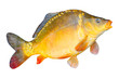 Big Common Carp - Mirror Carp ...