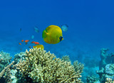 Golden butterfly fish