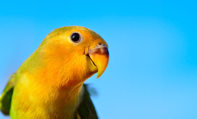 Close up faced lovebird and blue sky