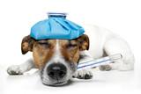 Fototapety Sick dog