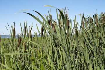 Cattail thickets