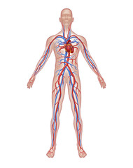 Human Circulation Anatomy