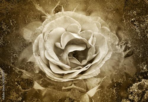 Altes Foto - Die Rose
