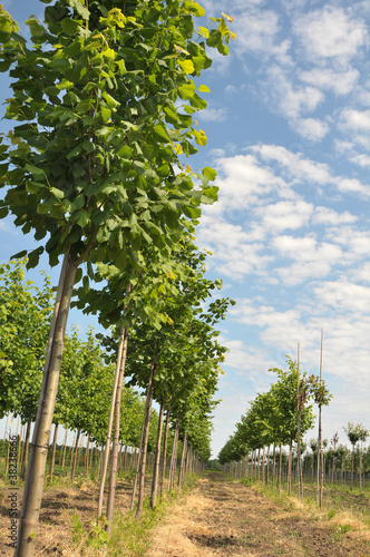 Rows of Linden-tree