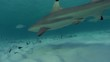 Requin - Shark