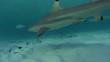 Requin - Shark
