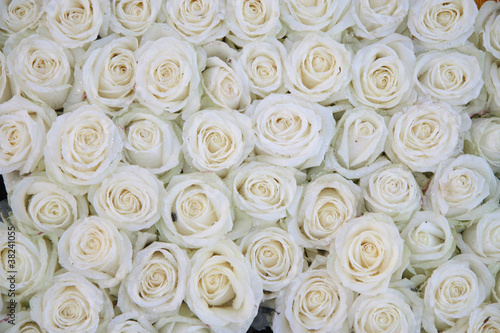 Obraz group of white roses after a rainshower