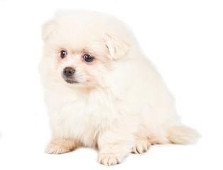 Pomeranian Spitz puppy on a white background