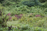 Wild deers (axis axis) in Mudumalai National Park, India poster
