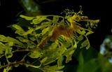 Leafy Dragon Seahorse poster