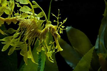 Leafy Dragon Seahorse