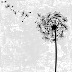 dandelion with seeds in the wind