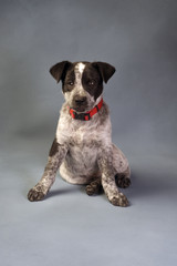 Texas Blue Heeler Pup 11  weeks Old.