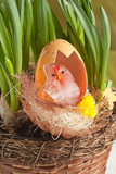 Chicken with eggshell in nest