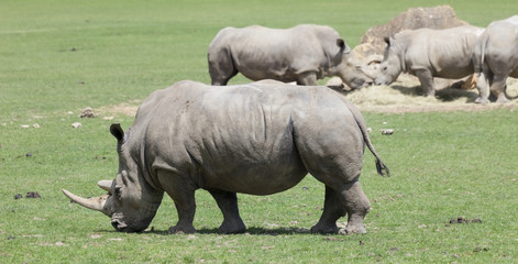 White rhinoceroses in field