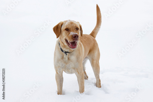 yellow labrador plays in the snow