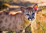 Young Mountain Lion Cougar Kitten Puma Concolor